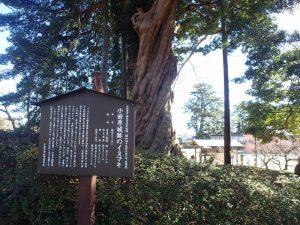 小田原城址公園 イヌマキ