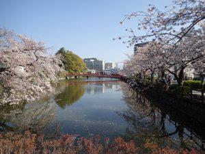 小田原城址公園と桜