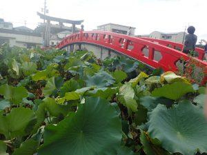 青井阿蘇神社:禊橋(みそぎばし)と蓮(はす)