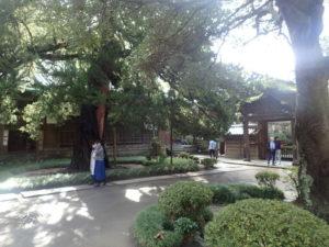 円覚寺:大方丈とビャクシン