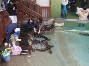 新江ノ島水族館:ウミガメにタッチイベント