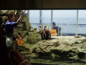 新江ノ島水族館:カワウソ